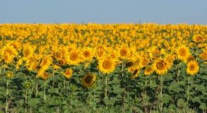 Free Summer Sunflower Field Stock Photos - 31396343