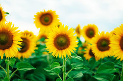 Summer sunflower field. Field of sunflowers with blue sky. A sunflower field at sunset. Royalty Free Stock Images