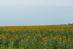 Summer sunflower field. Royalty Free Stock Photo