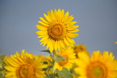 Summer sunflower field Royalty Free Stock Image