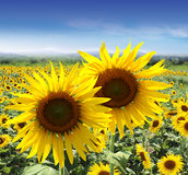 Summer sunflower fields Royalty Free Stock Image