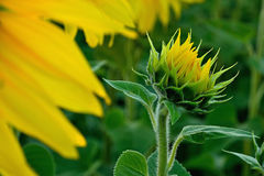 Sunflower. Summer sunflower in Slovakia. Agricultural crop. Flower with yellow petals and green leaves Royalty Free Stock Photos