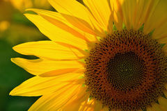 Sunflower. Summer sunflower in Slovakia. Agricultural crop. Flower with yellow petals and green leaves Royalty Free Stock Photography