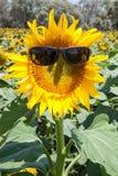 Summer sunflower Royalty Free Stock Photos
