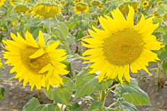 Summer Sunflowers Stock Images
