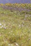 Summer Sunflowers Royalty Free Stock Photos