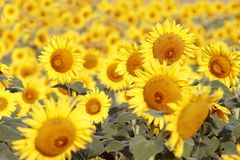 Summer Sunflowers Royalty Free Stock Photos