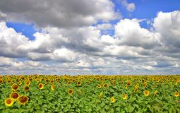 Summer Sunflowers. Field of sunflowers with very cool clouds Stock Images