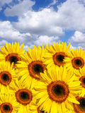 Summer Sunflowers. Sunflowers in summer set against a blue sky and alto cumulus clouds stock photography