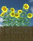 Summer Sunflowers by a garden fence Royalty Free Stock Photo