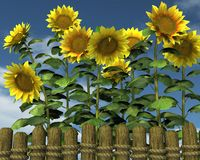 Summer Sunflowers looking over a garden fence Royalty Free Stock Photo