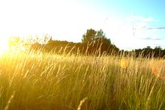 Golden field glows stock images