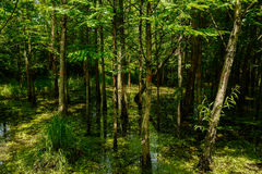 Summer sunlight on firs in wetland Royalty Free Stock Photo