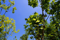 Summer sunlight on leaves of trees against blue sky Royalty Free Stock Image