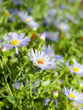 Summer Sunlight Scene: Daisy or Chamomile Flowers Royalty Free Stock Image