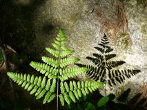 Summer: sunlit fern leaf and rock. Sunlit fern leaf and shadow on rock in woodland, Massachusetts, New England Stock Photos