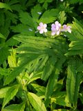 Summer: sunlit pink campion wildflowers - v Stock Photography