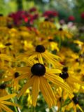 Summer: sunlit yellow flowers stock photography