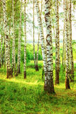 Summer in sunny birch forest. Birch forest in sunlight in the morning stock photography