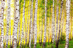 Summer in sunny birch forest Stock Photos
