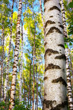 Summer in sunny birch forest Stock Images