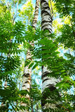 Summer in sunny birch forest Royalty Free Stock Photos