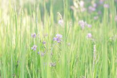 Summer sunny botanical natural floral background with green grass and blooming clover in a meadow.  royalty free stock image