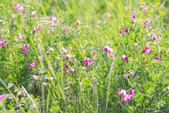 Summer sunny botanical natural floral background with green grass and blooming flowers in the meadow.  royalty free stock photography