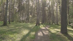 Summer sunny day in a birch forest.  stock footage