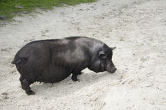 Summer sunny day black fat pig. Stock Photography