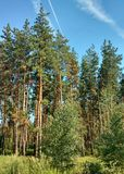 Pines. Royalty Free Stock Images