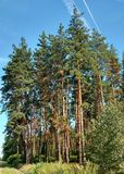 Pines. Stock Photography