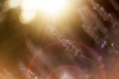 Summer sunny flower. Sunny lavender flower in summer royalty free stock photos