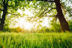 Summer Sunny Forest Trees And Green Grass. Nature Woods Sunlight Background. Instant Toned Image royalty free stock photography
