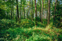 Summer Sunny Forest Trees. Nature, Woods in Sunlight Stock Photos