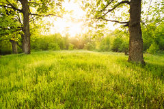 Summer Sunny Forest Trees. Summer Sunny Forest Old Oak Trees. Nature Green Wood Sunlight Backgrounds Stock Photo