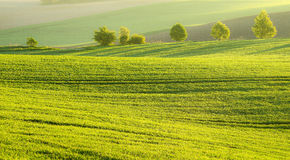 Summer, sunny morning. Sunny morning,young corn fields Royalty Free Stock Photos