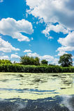 Summer sunny river with duckweed Royalty Free Stock Image