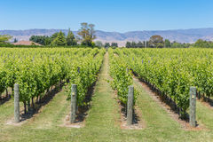 Summer sunny view of a vineyard Stock Photos
