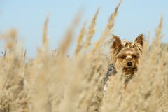 Summer, sunny weather. A small dog breed toy terrier hiding in the fields among the tall grass. Wind royalty free stock photo