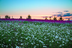 Summer sunrise over a blossoming meadow Stock Photography