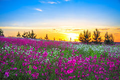 Summer sunrise over a blossoming meadow Royalty Free Stock Images