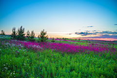 Summer sunrise over a blossoming meadow Royalty Free Stock Image