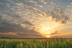 Summer sunrise over a field. Bright summer sunrise and green wheat field Royalty Free Stock Images