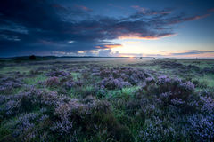 Summer sunrise over flowering heather Stock Photography