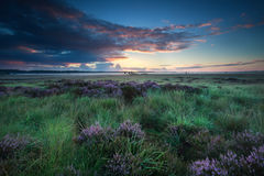 Summer sunrise over marsh with flowering heather Royalty Free Stock Photo