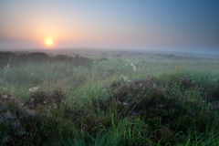 Summer sunrise over marsh with flowering heather Royalty Free Stock Photos