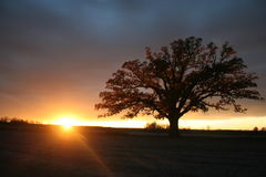 Summer Sunset behind the Mighty Bur Oak Stock Photo