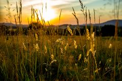 Summer Sunset Captured in Grass Stalks. On the Meadow stock photography