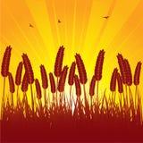 Summer sunset cornfield Royalty Free Stock Photos